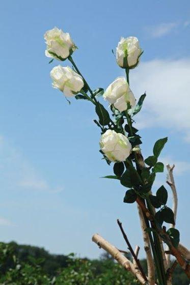 """Picture of Bocciolo rosa """"AIDA"""", h.90cm bianco"""